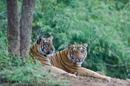 A wild royal bengal tigress with cub in Tadoba Andhari Tiger Reserve, India
