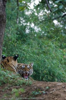 A wild Royal Bengal Tigress snarls at the presence of tourists in Tadoba Andhari Tiger Reserve, India