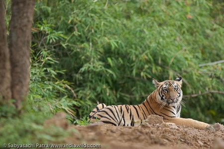 A wild Royal bengal tiger adolescent cub in Tadoba Andhari Tiger Reserve, India