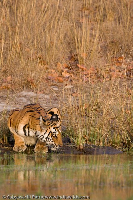 The Jhurjhura tigress pauses while drinking to look at source of sound
