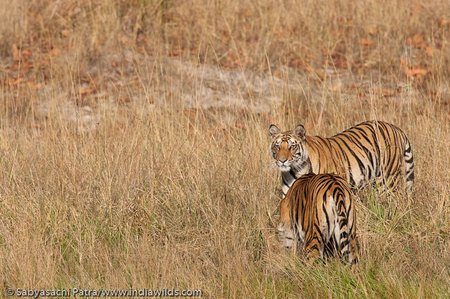 Jhurjhura tigress 