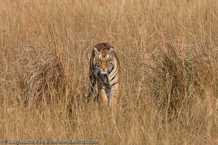 The bandhavgarh tigress who was recently runover by a jeep from a file picture