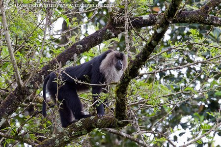 Lion tailed Macaque on a tree
