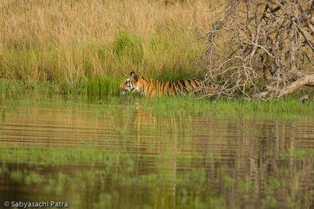 Jhurjhura Tigress, Bandhavgarh