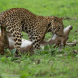 Leopard is an illusive predator. This article documents a natural history behaviour of a wild leopard hunting deer.