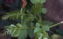 Curry Leaf : A Gem Of Indian Cooking Dr. Rashmi Rekha Patra Curry leaf is synonymous with hot and mouth watering South Indian cuisine. Once it is added to a curry, it gives a distinct […]