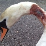 swan shot with an air gun