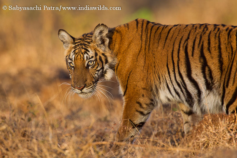 IndiaWilds Newsletter Vol. 5 Issue IX [wpfilebase tag=file id=10 /] Big Hairy Audacious Goal to Save the Tiger The Project Tiger was started when across India hunters were indiscriminately shooting down tigers. This hunting pressure […]