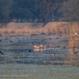 PRIDE OF HARYANA: SULTANPUR BIRD SANCTUARY By Shakti Bishnoi and AS Bishnoi Sultanpur Bird Sanctuary The state of Haryana in north India has two National Parks, eight Wildlife Sanctuaries, two Wildlife Conservation Areas, four Animal […]