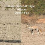 Eastern Imperial Eagle attacks Desert Fox
