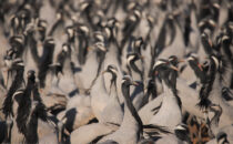 Khichan: Home to Demoiselle Cranes By Mrs. Shakti Bishnoi and Mr. A. S. Bishnoi From late August or early September to the end of March, one can witness the extraordinary and amazing sight of hundreds […]