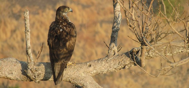 "One day with Bonellis Eagle… By Kedar Javadev Dhepe "" I will not be alone in the company of Nature and Birds…"" – Salim Ali Some people say the attraction to anything is from birth and it's […]"