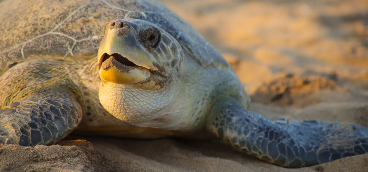Turtle Tales: Arribada in Odisha Introduction Every Year Odisha witnesses a migration of epic proportions. Huge numbers of Olive Ridley turtles arrive at Gahirmatha, Rushikulya and Devi River mouth to lay eggs. To a lesser […]