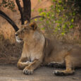Gir National Park: The only abode of Asiatic Lions Mrs. Shakti & Mr. A S Bishnoi Gir National Park, also known as Sasan Gir, was established in 1965, with a total area of 1,412 km2, […]