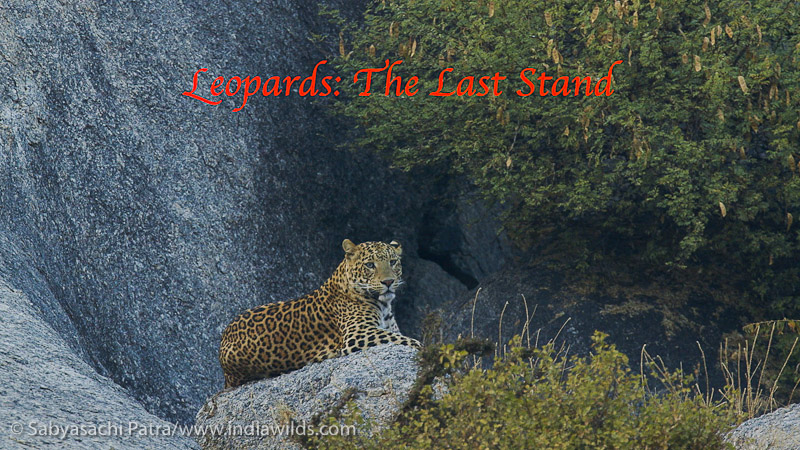 Leopards living outside the protected areas