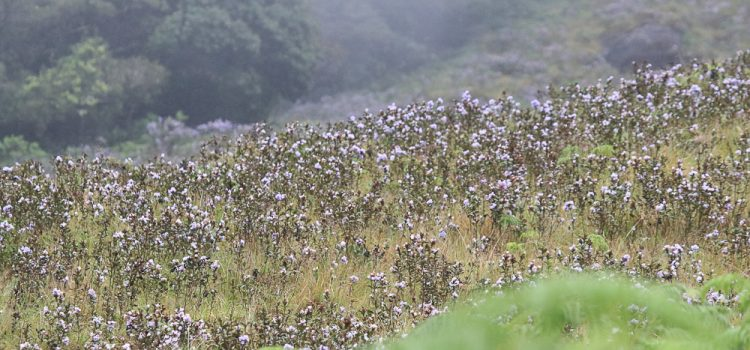 Neelakurinji blooms once in every 12 years