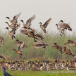 Flock of pintails in Chilika lake, a Ramsar site.