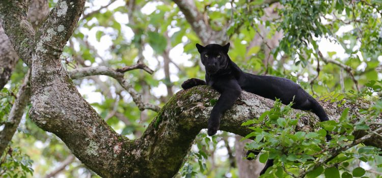 Black Panther Black leopard or Black Panther as they are commonly known, often invokes awe as they are very rarely sighted and they have an aura of mystery. Apart from the rarity the Black panther […]