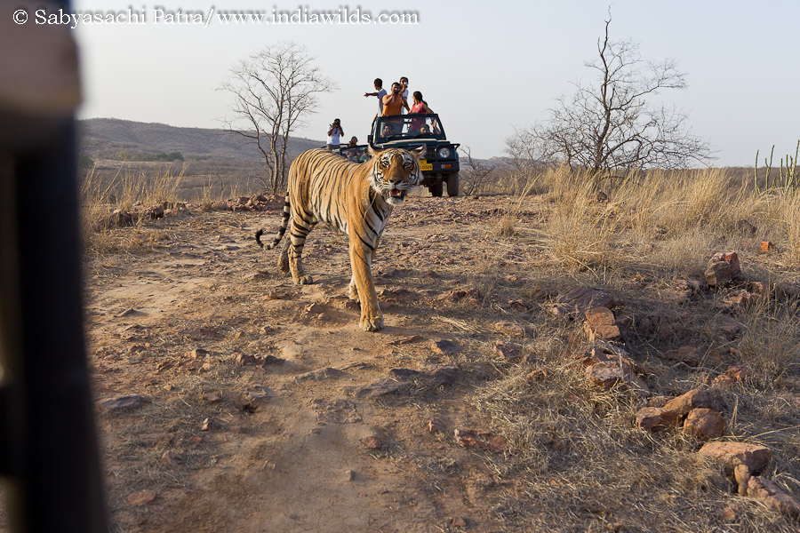 IndiaWilds Newsletter Vol. 3 Issue XI This issue of IndiaWilds Newsletter examines the present sad state of wildlife tourism, its negative impact and way forward. Your comments are appreciated at the end of the article. […]
