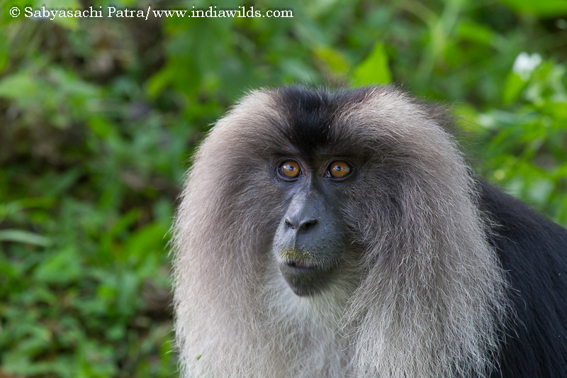 A Call in the Rainforest The Western Ghats due to its rich biodiversity had caught my imagination since a long time. And I had been intrigued by the Lion-tailed macaques, not because they are endangered, […]