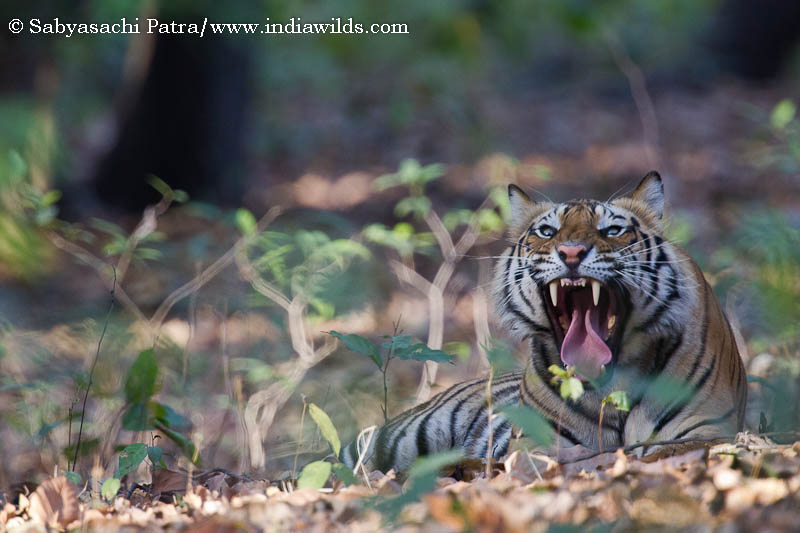 IndiaWilds Newsletter Vol. 3 Issue VII This issue of IndiaWilds Newsletter Vol. 3 Issue VII examines the Man vs The Big Three namely the tiger, leopard and elephant, including examining the so called man-eating phenomena […]