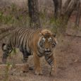 The Untold Stories of Indian Tigers by Nikhilesh Shrikhande The Untold Stories of Indian Tigers is a collection of stories about the lives of some of the oft sighted and well-known tigers from a few […]