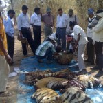 Tiger hacked into pieces in Maharashtra