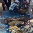 Wildlife Crime and Punishment I came across a news item from Bangladesh and immediately sat up and took notice. Bangladesh which had promulgated its wildlife laws in 1974 is revamping it. Under the present laws, […]