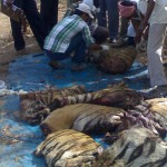 Tiger hacked in pieces by poachers