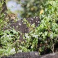 IndiaWilds Newsletter Vol. 7 Issue VII Eradicating Lantana through existing Government Schemes India has got 103 National Parks, 530 Wildlife Sanctuaries and 4.88% of its geographical area is under the Protected Areas (PAs). However, tourists […]