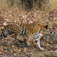 750 Tigers died in India in last 8 years According to official data obtained over RTI by news agency PTI, 750 tigers have died in India in the last 8 years due to poaching and […]