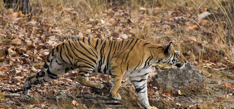 "Tiger Corridors in India The National Tiger Conservation Authority in collaboration with the Wildlife Institute of India has published a document titled ""Connecting Tiger Populations for Long-term Conservation"", which has mapped out 32 major corridors […]"