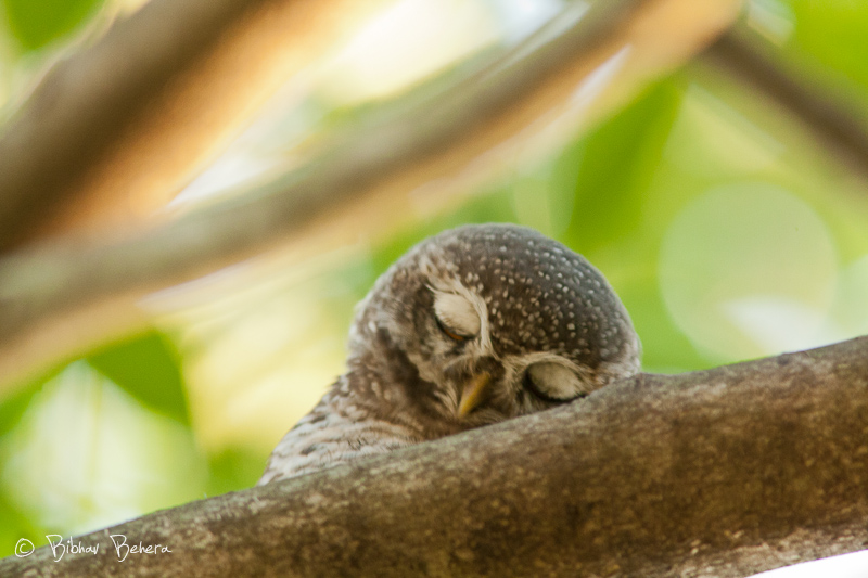 attachment - Sleepy owls - Photos Unlimited