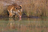 Tiger in Water