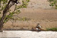 Tiger on the water front in Bandhavgarh